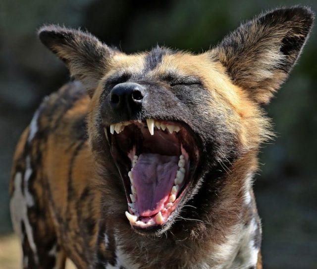 How To Feed Wild Hyenas In Harar Ethiopia Travel