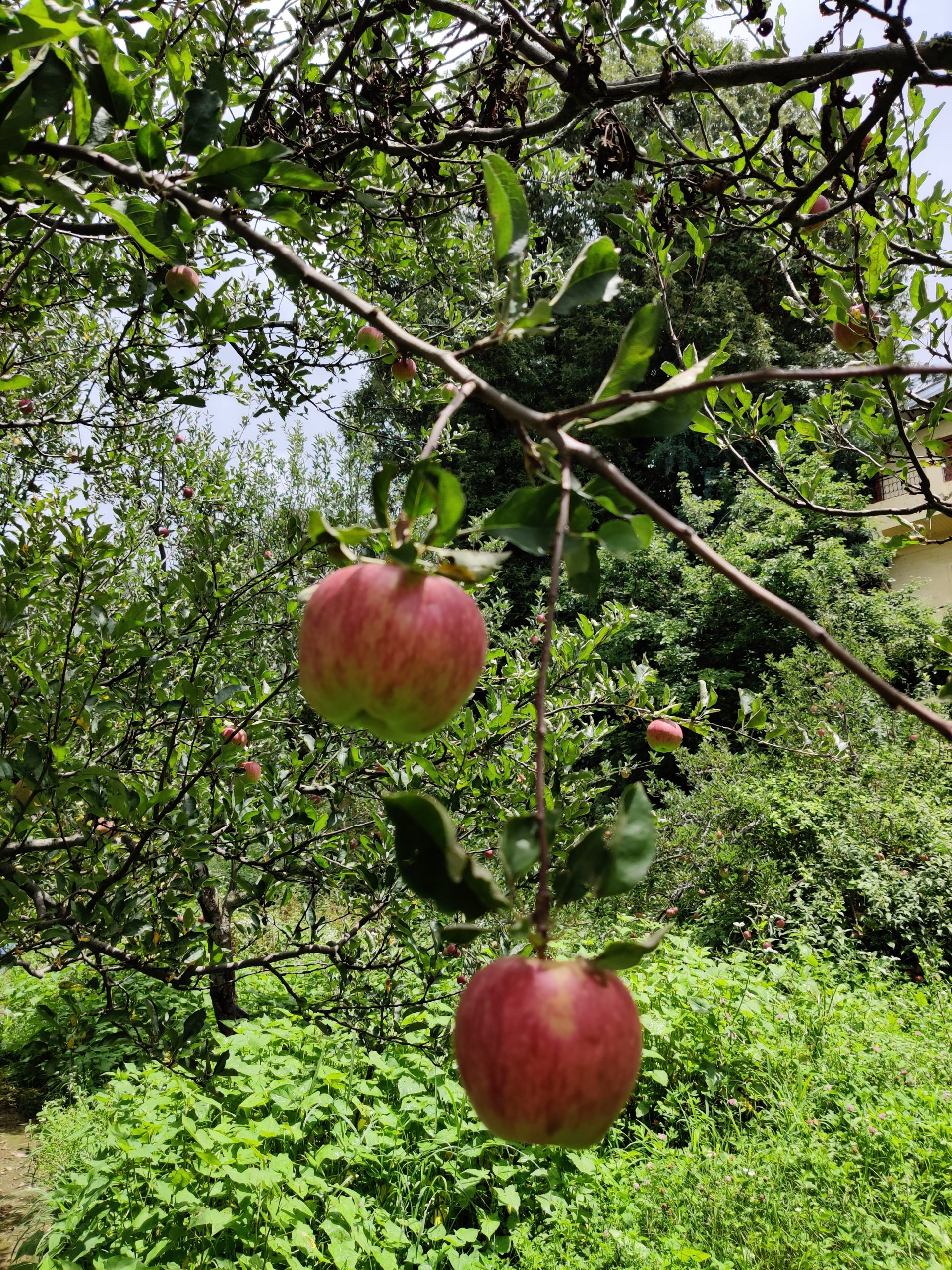 apple orchards himachal
