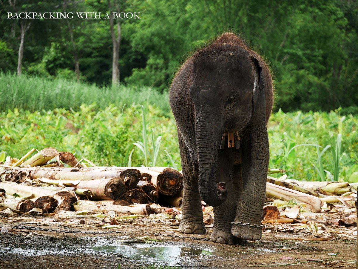 A baby elephant seen on our way to Kuang Xi Waterfall, Laos