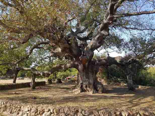 Pasticia trees in HaElot Parking Lot