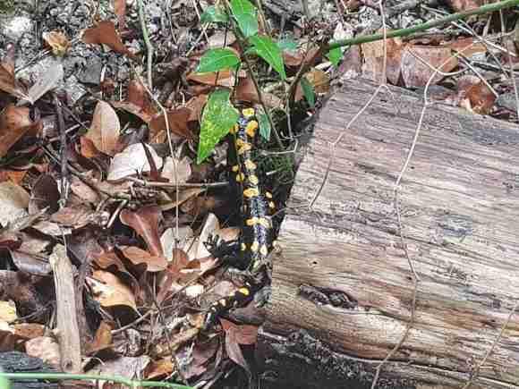 Salamandra in the Carmel Forest