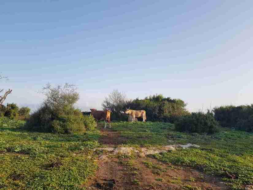 Some cows on the Ramot Menashe Regional Trail