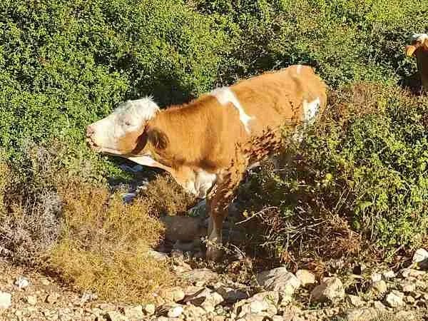 A cow on the Sea to Sea Trail