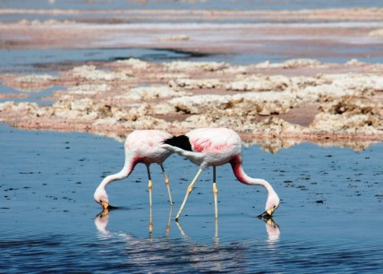 Flamingoes Atacama Chile