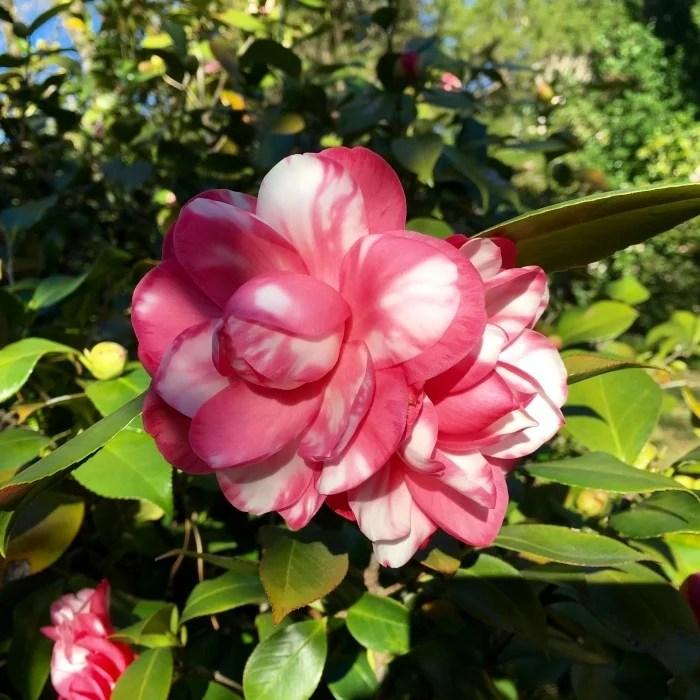 Eudora Welty Home Garden Jackson Mississippi Camellia
