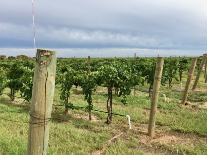 Llano Estacado Winery Vineyard