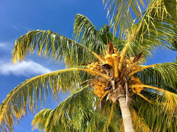 palm tree with coconuts against the sky