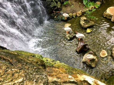 white pelicans at waterfall
