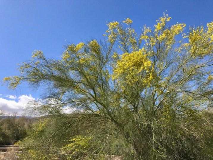 Anza Borrego 2154 - Wildflower Chasing at Anza-Borrego Desert State Park California