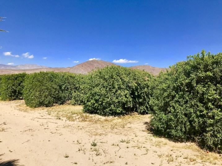 IMG 2266 - Wildflower Chasing at Anza-Borrego Desert State Park California