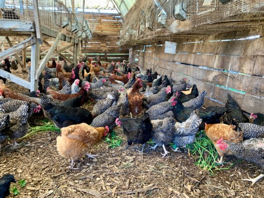 Polyface Farm Chickens - Fun Things to Do in Staunton Virginia