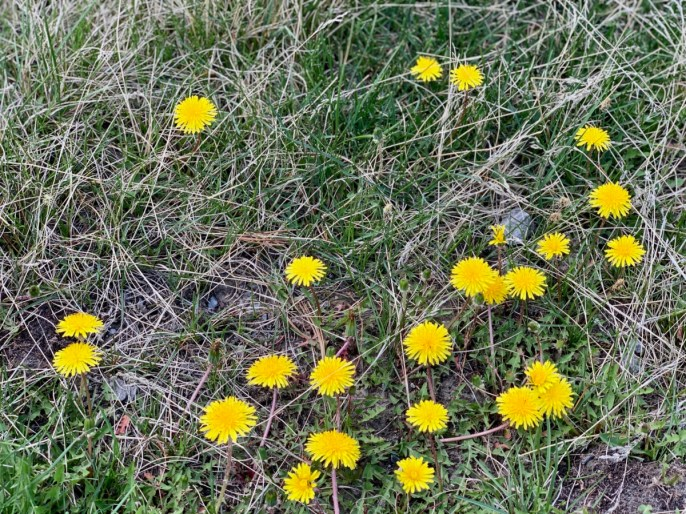 Dandelions - The Best Sites & Activities for a Town of Banff Adventure