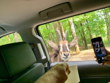 Virginia Safari Park Feeding Oryx