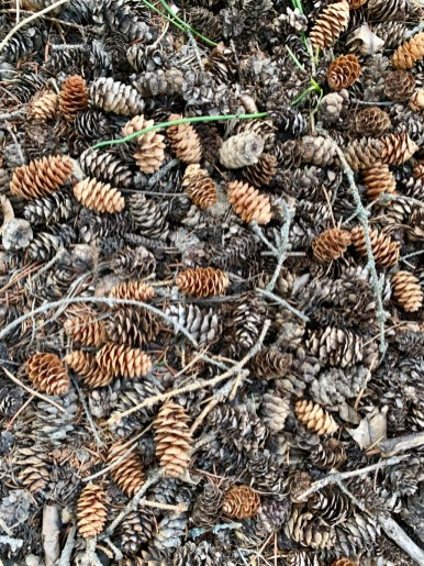 Douglas Fir Pinecones