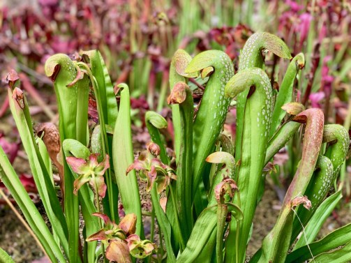 Georgia pitcher plants 3 - 18+ Outstanding Athens Georgia Attractions