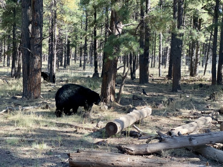 Bearizona black bear - Take the Train to Grand Canyon National Park: An Insider's Guide