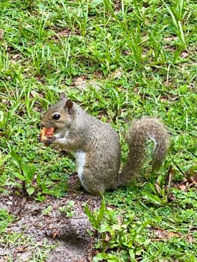 Florida gray squirrel - Discover Lake County Florida Outdoor Adventures
