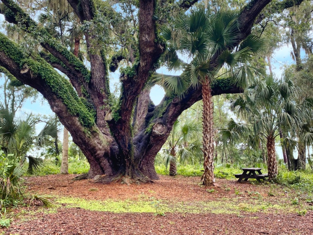Lake Griffin SP huge live oak - Discover Lake County Florida Outdoor Adventures