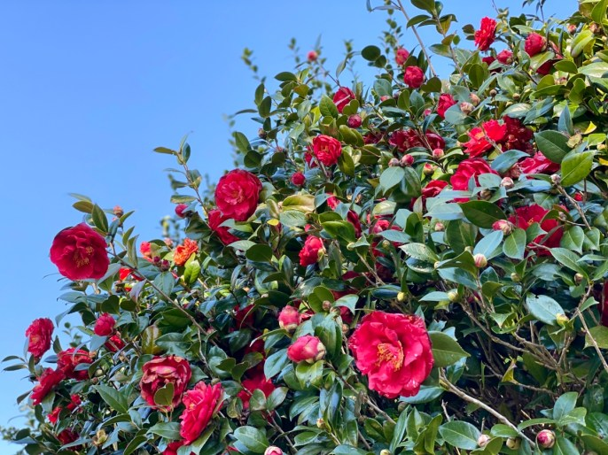 Pebble Hill camellias - Encounter Historic Quail Hunt Plantations in Thomasville GA