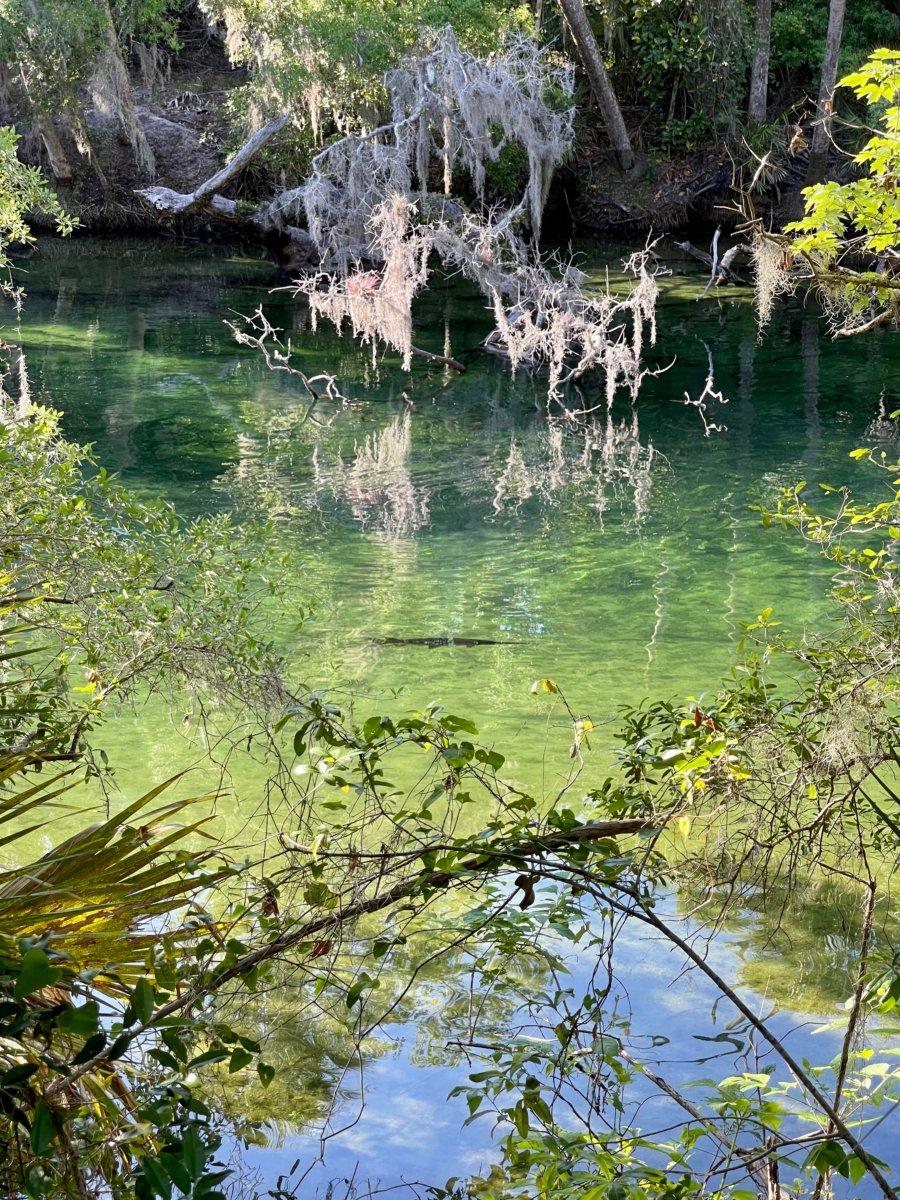 Blue Spring gar - Discover Florida's Blue Spring State Park & Campground