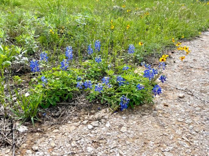 Texas bluebonnet - Plan an Unforgettable McKinney Falls State Park Camping Trip
