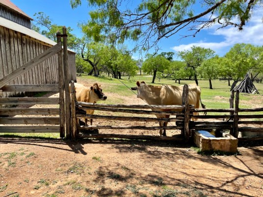 Sauer Beckmann cows - Explore LBJ Ranch and the Texas Hill Country