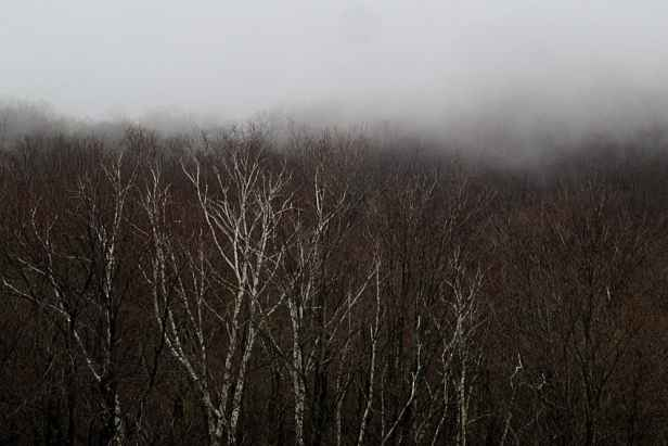 Birch trees shining through the fog.