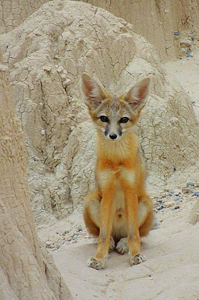 A kit fox in Cathedral Gorge State Park