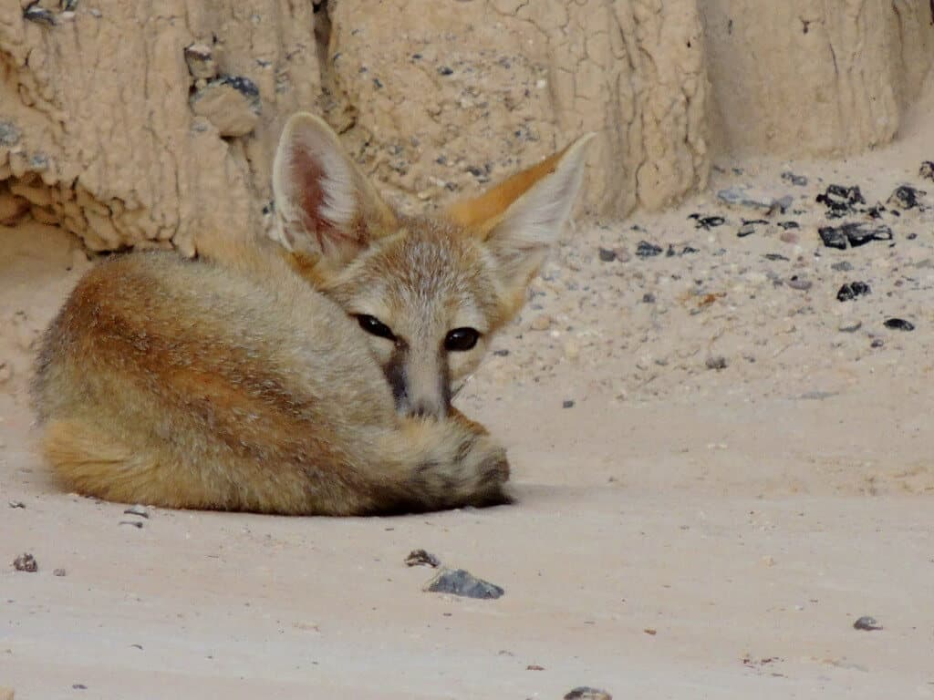 A kit fox sleeping in Cathedral Gorge State Park