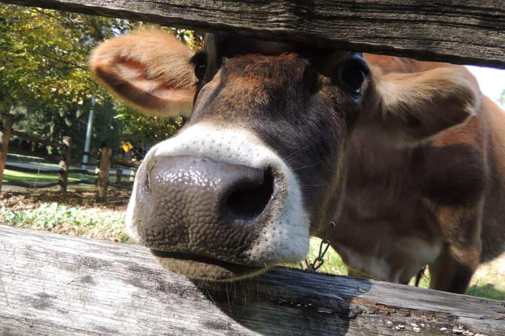 A cow peers between fence posts at the camera