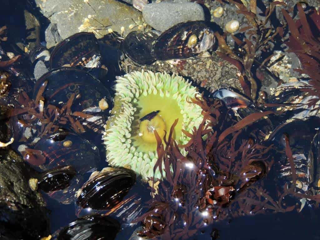 A tide-pool sea urchin surrounded by mussels and seaweed
