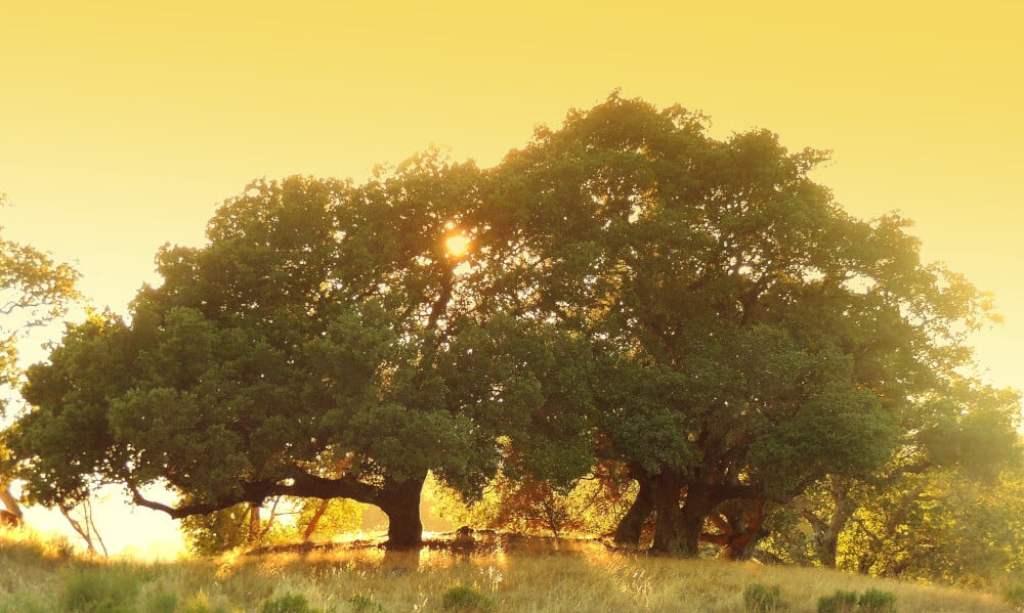 A sunset through the trees in San Rafael, California