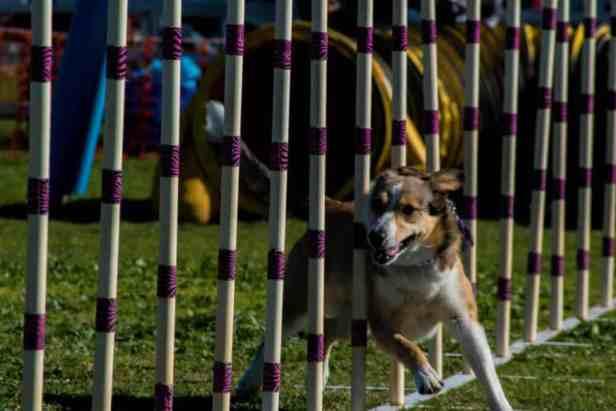 dog agility balloon festival lake havasu city