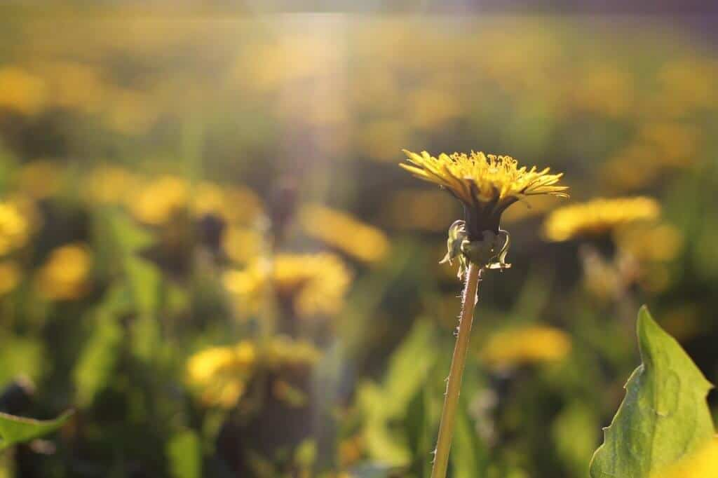 The common dandelion flower in a ray of sunlight