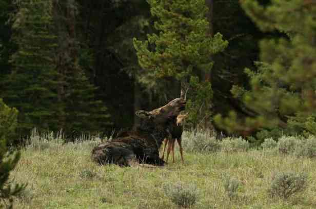 Baby animals are another reason to camp out in the spring. Pictured here, a young moose with its mother.