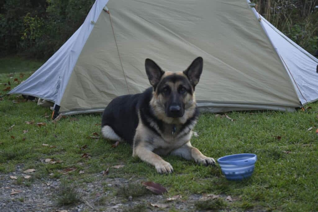 A German Shepherd lies in front of a tent outdoors.