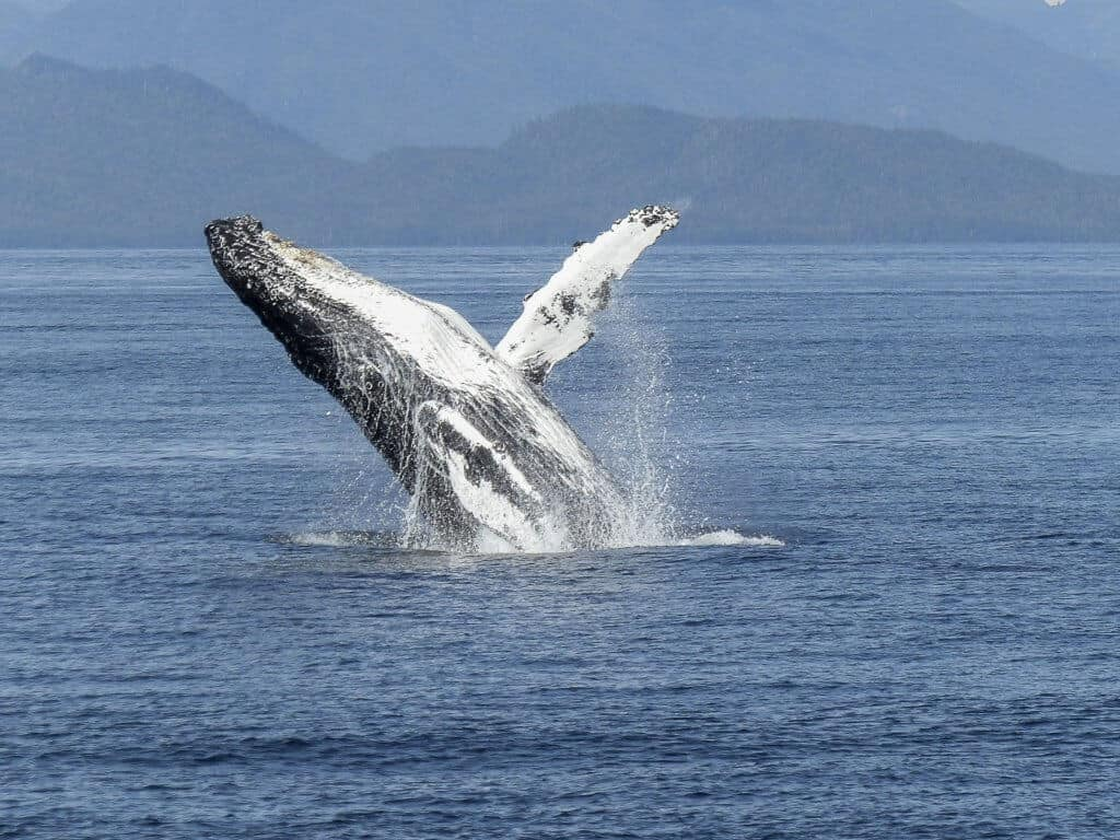 A humpback whale breaching off of Vancouver Island