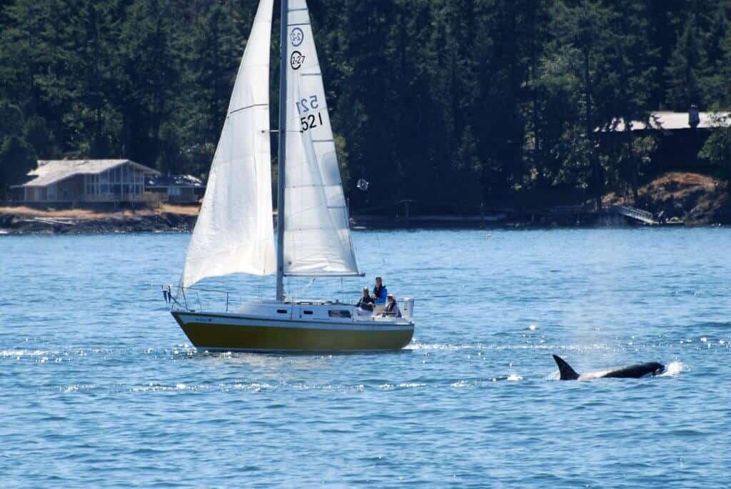 An orca swims next to a sailboat near Friday Harbor