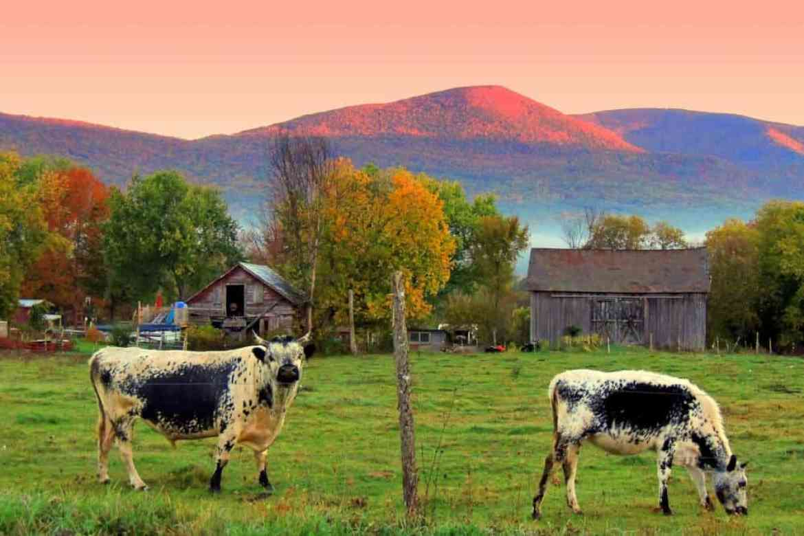 Two Randall's cattle grazing in the Vermont countryside