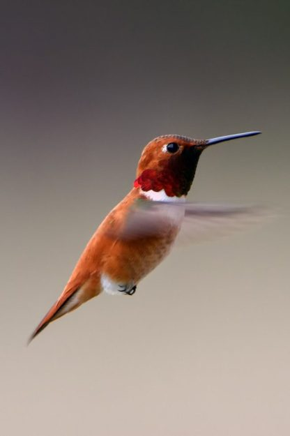 Orange White Throat Hummingbird Magnet