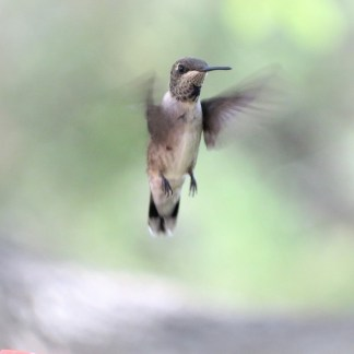 Hummingbird On Watch Magnet