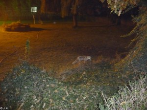 Fox in Laleh Park
