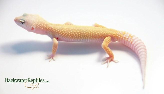 albino leucistic leopard gecko