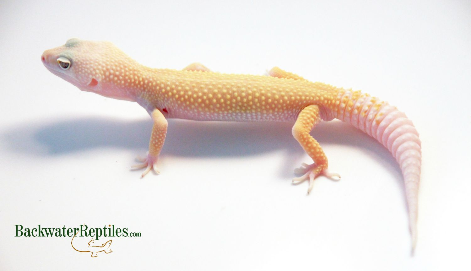 Most Popular Leopard Gecko Morphs