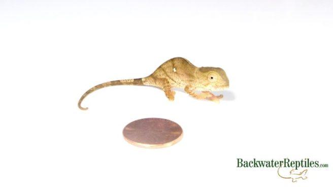 baby yellow lip parsons chameleon