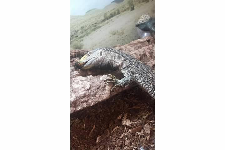 Most Popular Pet Monitor Lizards