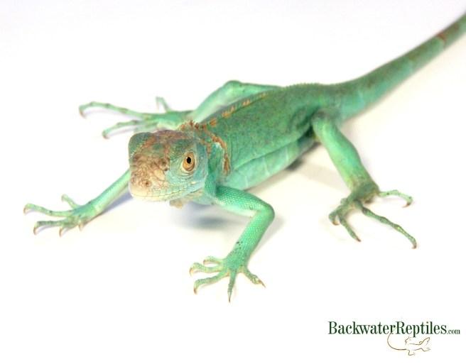 blue iguana baby