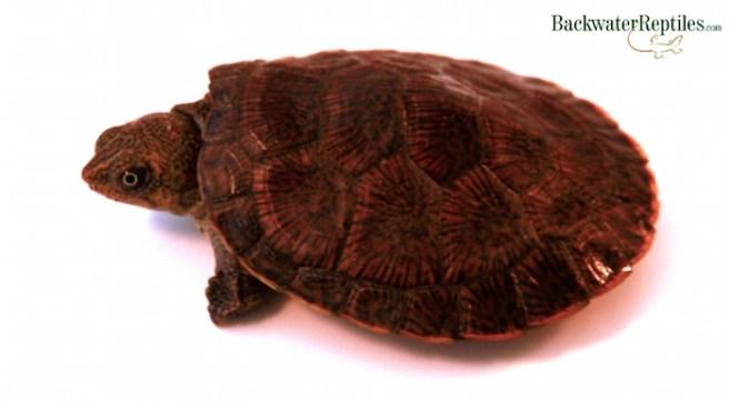 erymnochelys madagascariensis care