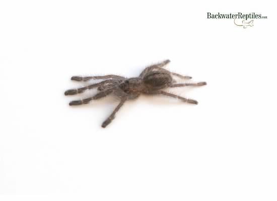Gooty Sapphire Tarantula Care Sheet (Poecilotheria metallica)