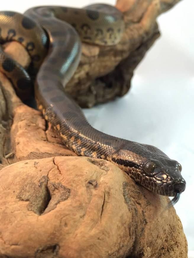 baby green anaconda